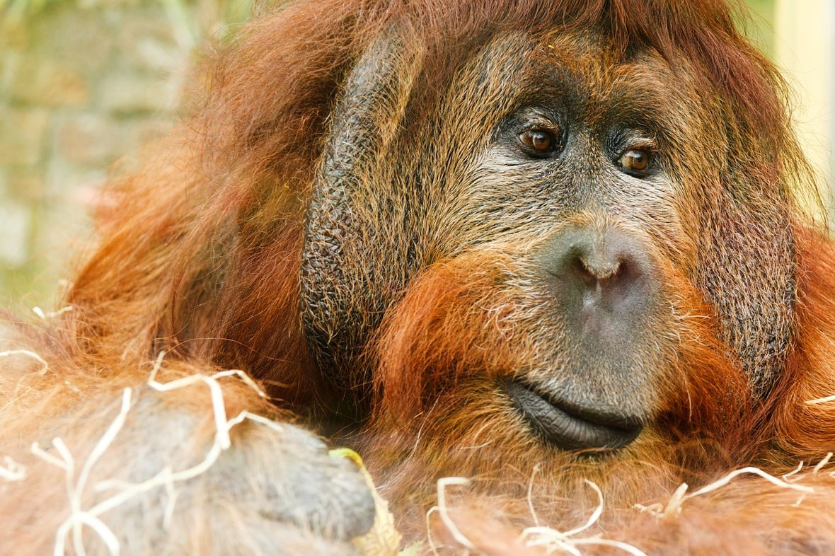 3 Things Writers Can Learn from Chantek, the Orangutan