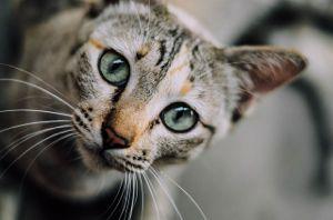 Cat Curious Gray 2