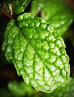 Mint Leaf 2