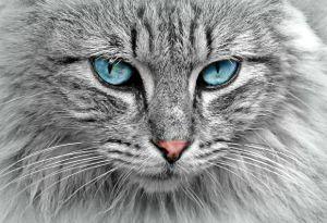 cat gray regal 2