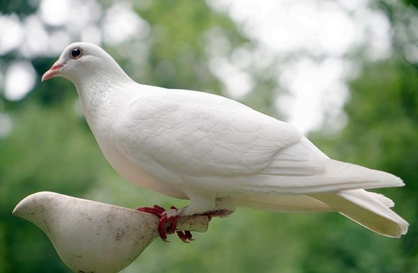 dove-spirit-2