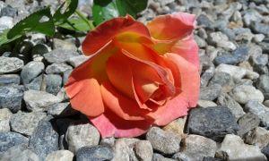 rose-rocks-rejection-2