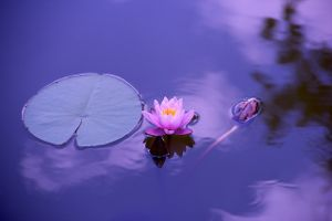 lotus-accept