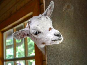 goat-peek corner